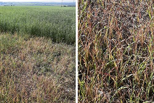 АКСИАЛ® поможет значительно увеличить  урожай ЯРОВОЙ пшеницы и ячменя