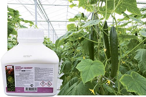 Испытания инновационного  инсектицида Беневия®  для овощных культур