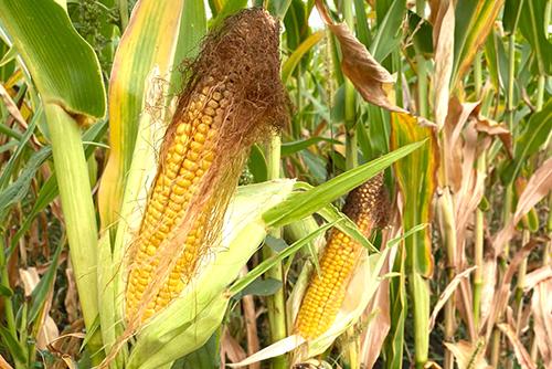 Гибриды кукурузы французской селекции  для получения высокоэнергетических кормов