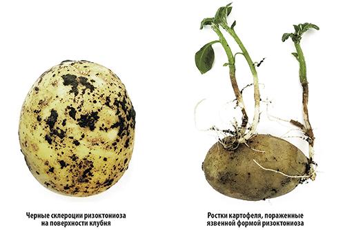 Опыт: влияние протравителей на заболевания и товарные качества картофеля