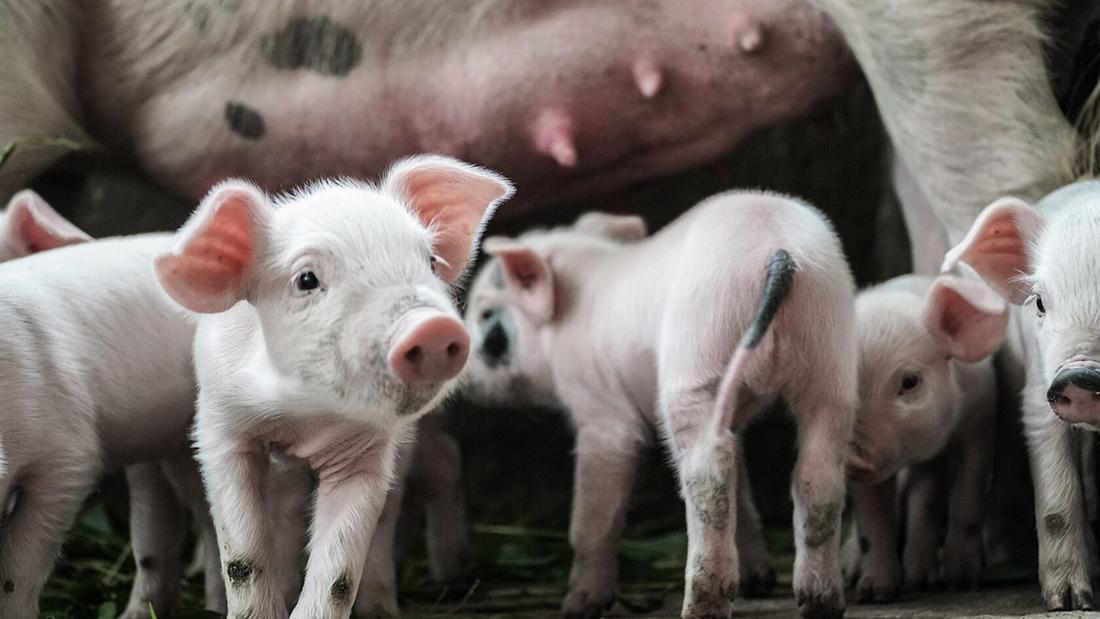 Круглый стол в рамках «АГРОС 2021»: «Экспертное мнение: как убедить потребителей есть больше свинины?»