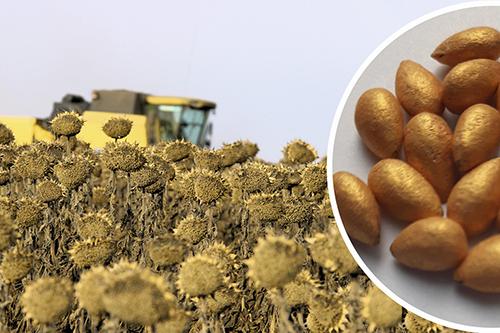 Эффективность технологии  обработки семян подсолнечника SunPowerCS  в условиях засухи