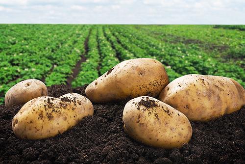 Пилотный проект по продвижению  новых отечественных сортов картофеля