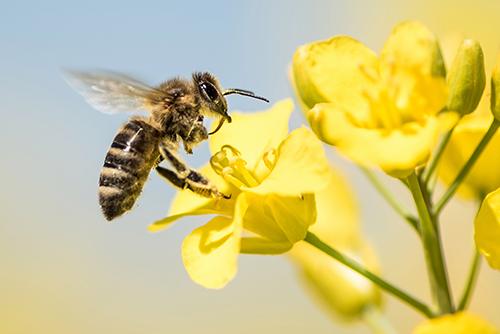 Инсектицидные обработки без ущерба для пчел