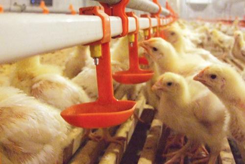 Современные технологии очистки питьевого водоснабжения  в условиях интенсивного птицеводства