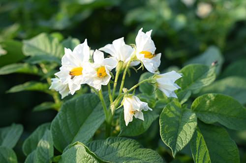 Опыт выращивания нового сорта картофеля КОРОЛЕВА АННА в ООО «Надежда»