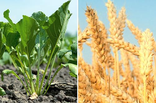 Премьера: фунгицид Аваксс®, КЭ  для экономичной и эффективной защиты  зерновых и сахарной свеклы