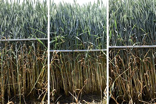 Новый фунгицид Приаксор:  высокая степень защиты зерновых