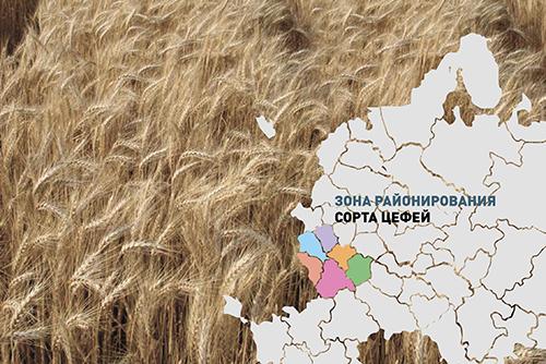Результаты выращивания  нового сорта озимой пшеницы Цефей