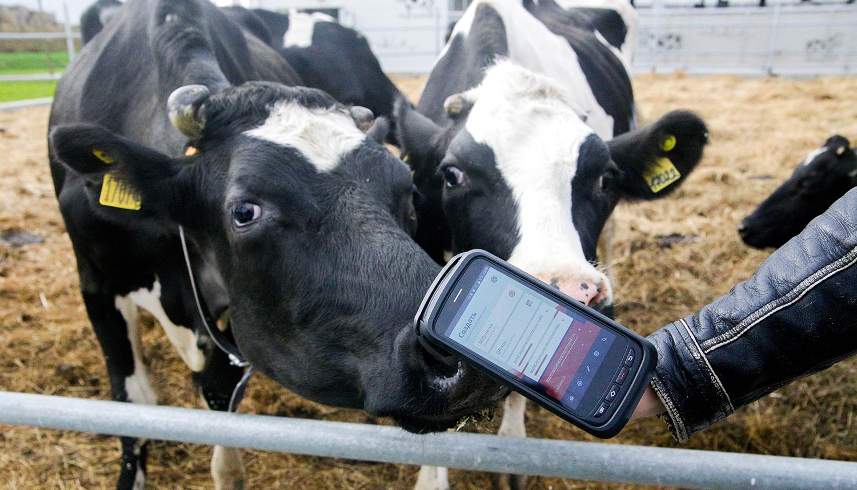 Опыт идентификации животных с помощью электронных бирок UHF в хозяйствах Московской области