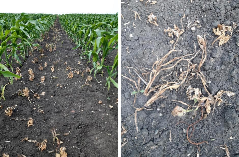 Гербицидная защита кукурузы: Хорс Д — двойное действие,  отличный результат!