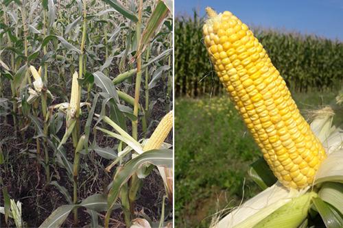 Эффективная технология  возделывания кукурузы и новые российские  высокопродуктивные гибриды