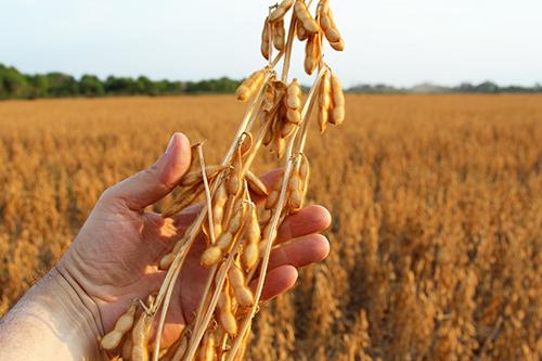 Перспективные агротехнологии для успешного выращивания сои и новейшие селекционные достижения
