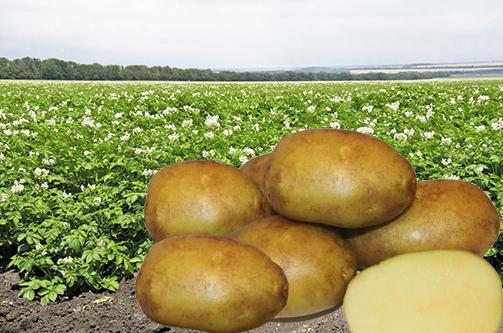 Конкурентоспособность новых сортов картофеля российской селекции