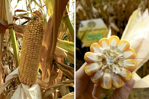 Технология выращивания кукурузы  на силос в СПК «Пушкинский»