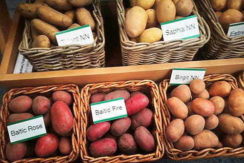 Новые перспективные сорта  селекции Norika и технология  выращивания семенного картофеля