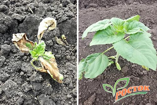 Влияние препарата «Росток»  на урожайность в ООО «Кубанские Аграрные технологии»